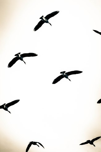 Geese over Narragansett Bay